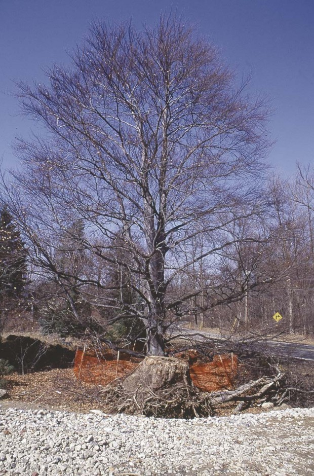 "If you can't protect most or all of the root zone, it's not realistic to have that plant on your ""keeper""list.This is especially true of species that are intolerant of root disturbance,such as this 70- year-old beech.The root zone extends to and beyond the tree's drip line.Less than one-third of that area was protected. The tree died within the year."