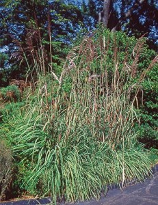 Keep your arms covered and face averted when you cut down that ravenna grass each spring, since the edges of the blades are sharp enough to inflict serious damage.