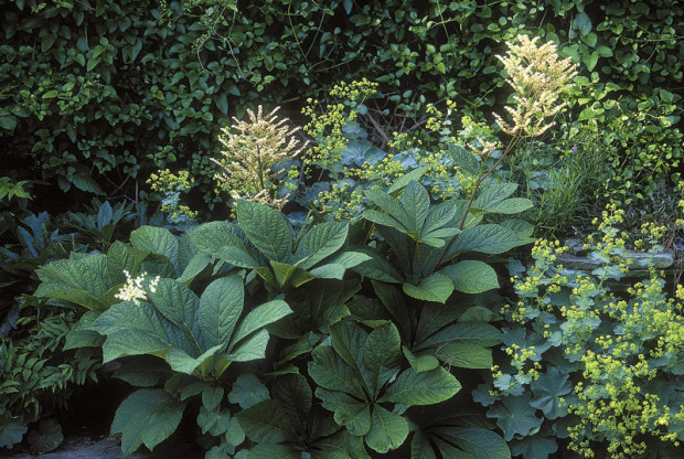Rejoice in clay, the choice of many fine plants. Roses and crabapples, plus rarer beauties like Rodgersia (above) thrive in a loose clay-based soil.