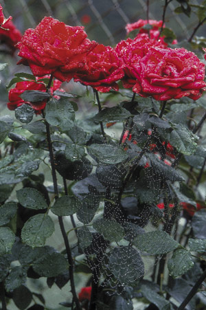 Many plants enjoy loose, clay-based soil, including roses.
