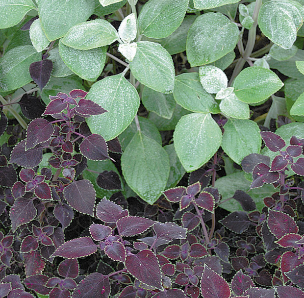 Silvery-green plectranthus and raspeberry-purple coleus are beautiful companions for the shade. (photo: Eric Hofley / Michigan Gardener)