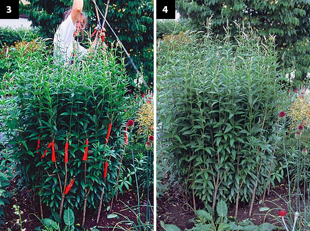 Left: I'm releasing the plant from its string girdle now, and the stems are relaxing against the crutches. Right: Don't you think using crutches allows the plant to retain its grace? Just compare it to the strung-up culver's root in photo number 1.