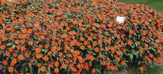 SunPatiens Compact Orange (photo: www.sunpatiens.com)
