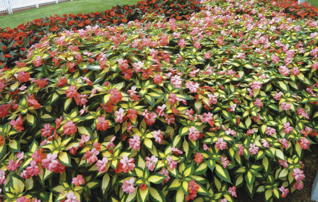 SunPatiens Spreading Salmon (photo: www.sunpatiens.com)