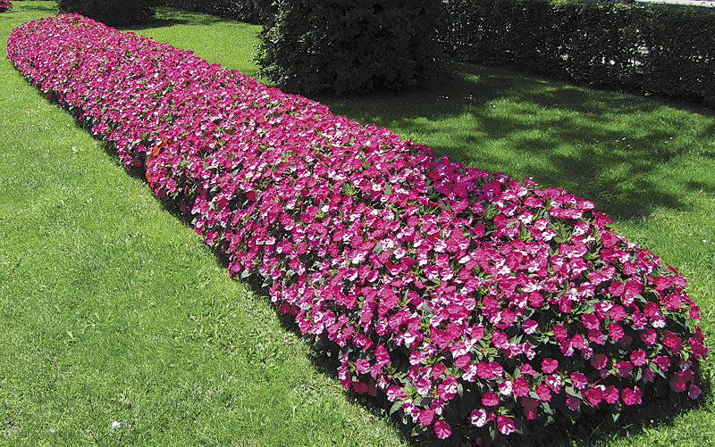 Alternatives To Impatiens Impatiens Walleriana