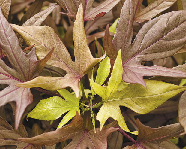 Illusion 'Garnet Lace' sweet potato vine (photo: Proven Winners)