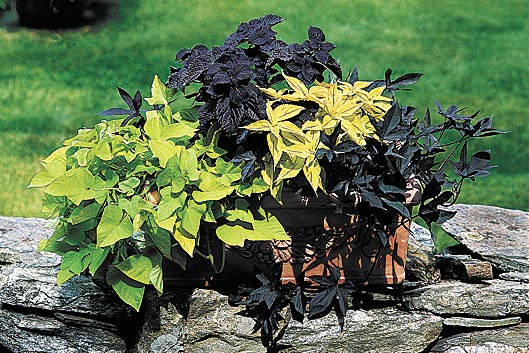 sweet-potato-vine-margarita-blackie-coleus