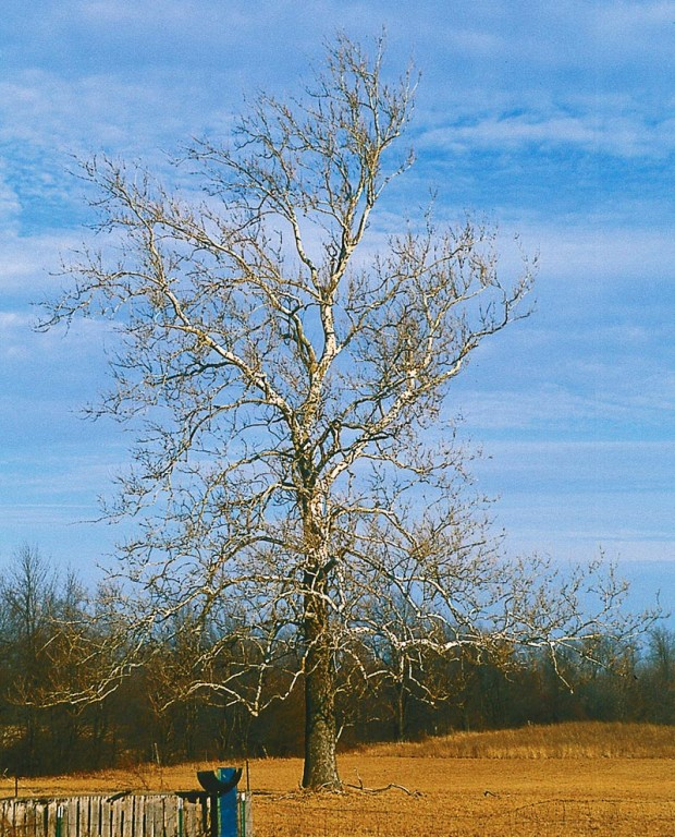 To set a new standard for the 21st century, let each gardener adopt and nurture just one tree. It has to have space to grow like this sycamore in a relative's field.