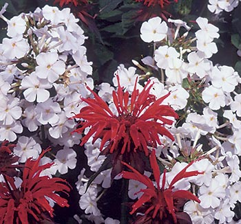 Just close your eyes and smell. Tall phlox and bee balm may be gray with powdery mildew, but their scent is still wonderful.