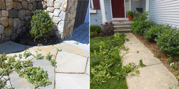 Evergreen pruning can be done at any time. I can even thin at one time, and cut back overall at a different time. I take advantage of that in winter when we need long branches for decorations. Look at all the great cuttings I've gathered just from thinning this boxwood (left) and these hollies (right).