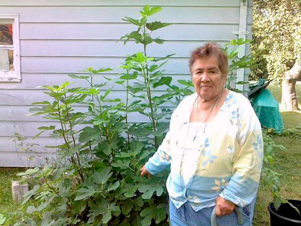 "Valerie Nava proudly shows off the fig tree she propagated from a cutting and is growing in northern Oakland County, Michigan. She covers it up in the winter and it comes back year after year. According to daughter Catherine, her mom's motto is, ""I never give up."" As a result, Valerie and her green thumb can tell you about many plants and how to grow them."