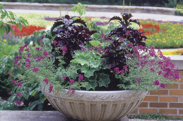 What goes down will come back up. Annuals such as verbena (above), lobelia and pansy that thrive in cool weather but disappoint during the dog days can be clipped back, watered, and left to regroup for an encore in fall.