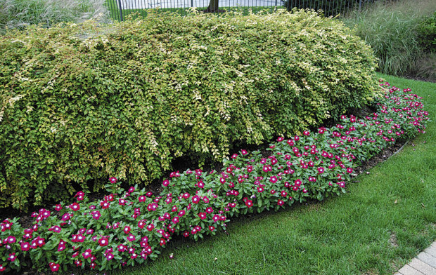 Today's vincas have overlapping petals and extra large flowers that strongly resemble impatiens. (photo: Eric Hofley / Michigan Gardener)