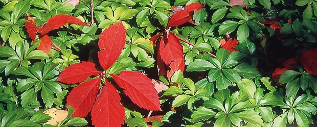 If you crush the stems or foliage of Virginia creeper, do not allow the juices to get on your skin.