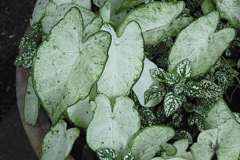 White Caladiums Mingle With Variegated Polka Dot Plants In This Shady Spot Photo