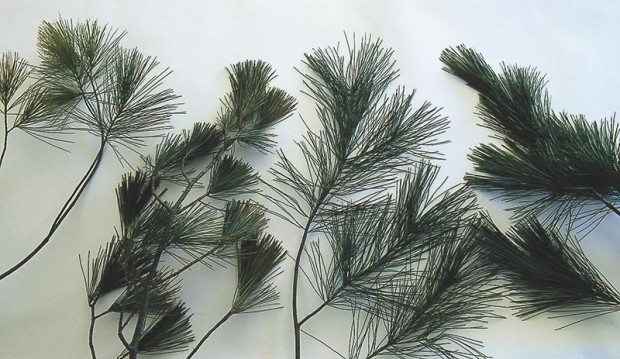 When placed side by side, braches from stressed and unstressed pines exhibit noticeable differences.