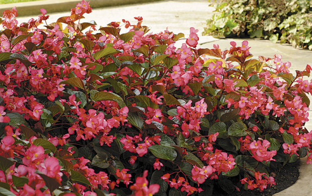 'Whopper Rose Bronze Leaf' begonia from the 'Whopper' series (photo: Ball Horticultural Co.)