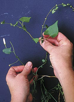 Don't confuse perennial bindweed with the recently-ubiquitous, annual wild buckwheat (Polygonum convulvulus, also called hedge bindweed). Notice buckwheat's flowers are tiny, not trumpets, and its leaves are more sharply pointed than perennial bindweed. Annual wild buckwheat is far less trouble to beat than perennial bindweed – just keep buckwheat from going to seed.