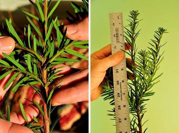 yew-twig-closeup-ruler