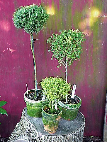 Choosing And Growing Herbal Topiaries Michigan Gardener