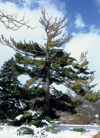 Advanced dieback has occurred on this white pine tree.