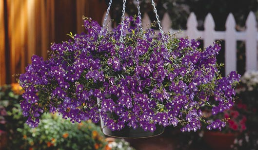 Plant Focus Angelonia Michigan Gardener