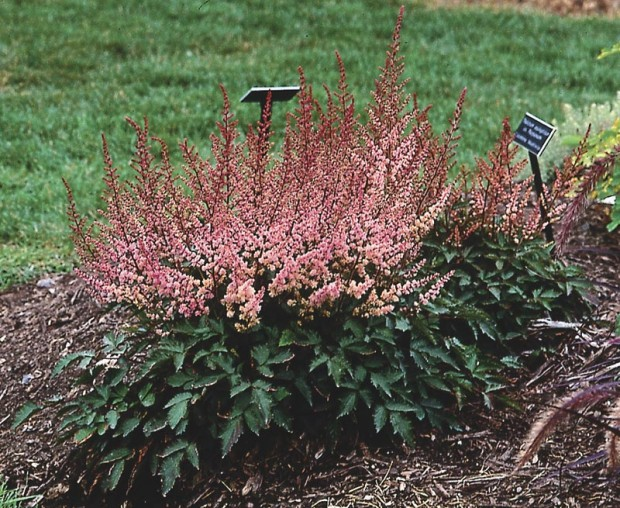 Astilbe is a tough plant all around, so long as it doesn't have to go dry. Given constantly moist soil, it can put on a show even while putting up with singed leaves in full sun.