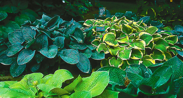 Left, Hosta 'Betcher's Blue'; Right, Hosta 'Shade Fanfare'