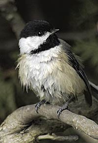 black-capped-chickadee-creeping