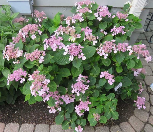This hydrangea (H. macrophylla 'Shugert') is just one of the many gorgeous hydrangeas in this garden.