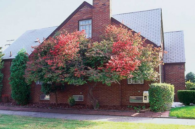 Favorite shrubs-as-trees are species with clean branching, such as this burning bush.
