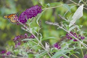 butterfly-on-butterfly-bush