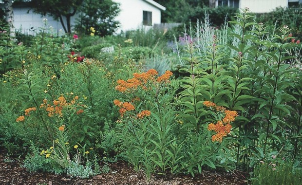 Pests can tell a plant that's being tolerant, even if we can't see any difference. Above, this butterfly weed (Asclepias tuberosa) growing in compacted soil at roadside may look fine at first glance...but it regularly falls prey to aphids (below) that never touch its sister plants growing 10 feet away in deeper, better drained soil.