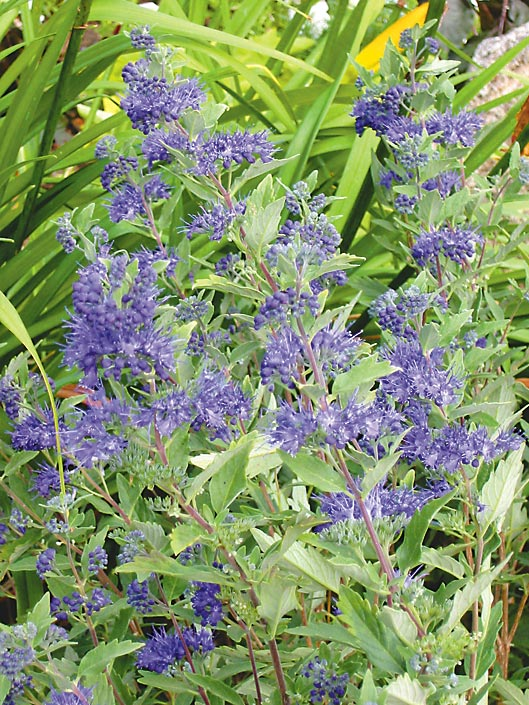 Plant Focus Blue Mist Spirea Caryopteris Michigan