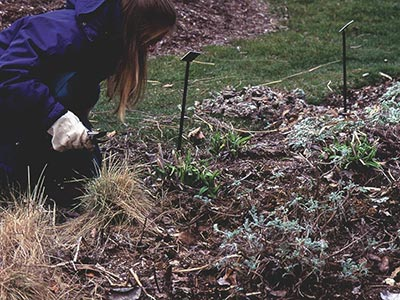I clip herbaceous perennials back to the ground, leaving only the brand new leaves or flower buds.