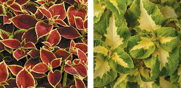 Left: Coleus Versa 'Crimson Gold.' Right: Coleus Versa 'Green Halo.' (photos: Ball Horticultural Co.)