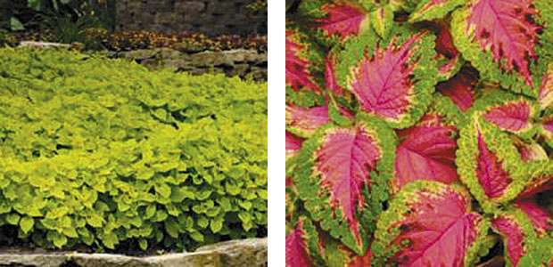 Left: Coleus Versa 'Lime.' Right: Coleus Versa 'Watermelon.' (photo: Ball Horticultural Co.)