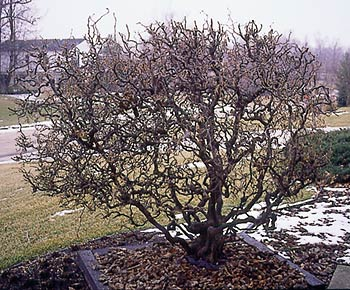 …and when you see a Harry Lauder's walking stick shrub (Corylus avellana 'Contorta') pruned into a ball, do you suspect an engineer works on the premises?