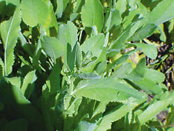 costmary-bible-leaf