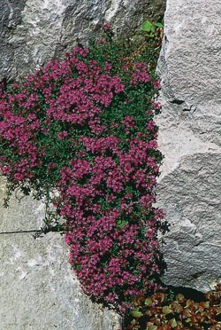 Creeping red thyme (Thymus coccineum)