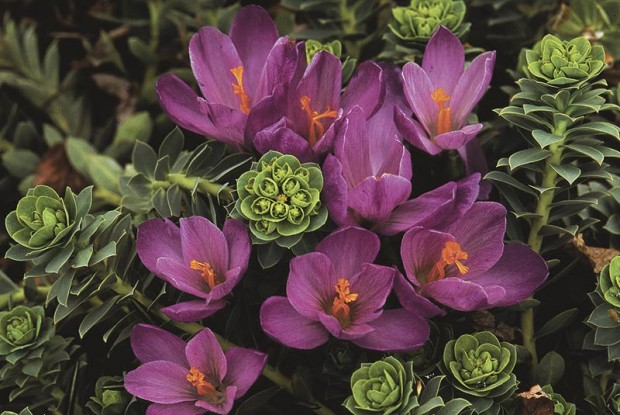 Crocus, a spring-blooming lark, has an additional qualification for doubling up: It has a shallow root and so can be paired with tap-rooted myrtle euphorbia (Euphorbia myrsinites).