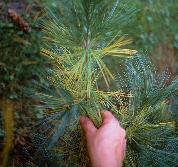 It is important to differentiate between white pine decline, and normal fall color, shown here.