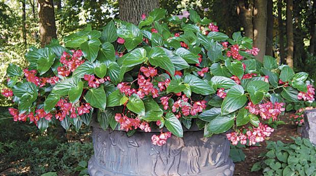 Dragon Wing begonia (Eric Hofley / Michigan Gardener)