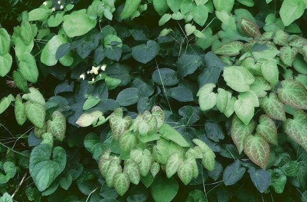 Epimedium sulfureum