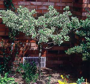 Evergreen euonymus (E. fortunei varieties such as this 'Ivory Jade,' 'Emerald Gaiety' and 'Sunspot') is so amenable to use as a shrub that many people don't even know how beautifully it climbs when given a chance, or how striking it can be as a small tree.
