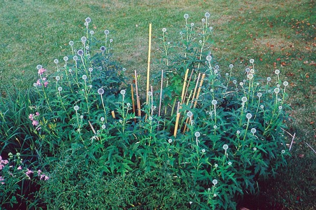 All of the fallen stems will be tied to or contained within the stakes you see here. You should be happy with the arrangement of the stakes before tying stems to them.