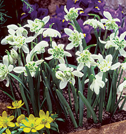 galanthus-nivalis-flore-pleno