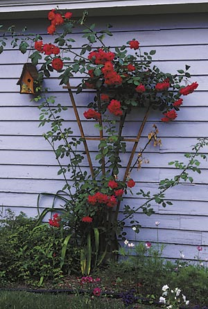 Think 'outside the box.' A neighbor's garage can be a good background for a climbing rose, even if the neighbor won't let it be planted flush against the garage or attached to the wall, as was the case with the unattached rose in this photo. So long as the rose is in front and the wall behind, the combination works as if the wall is yours.