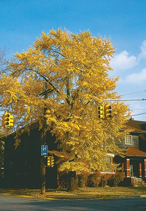 The future is clear in this respect: Mature shade trees at streetside like this gingko will likely not be a part of the 21st century landscape.