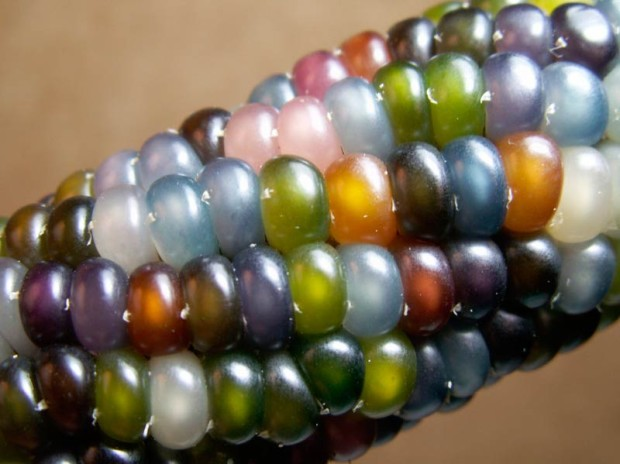 The nearly translucent Glass Gem Corn looks more like a work of art than a vegetable. (Photo: Greg Schoen/Native Seeds)